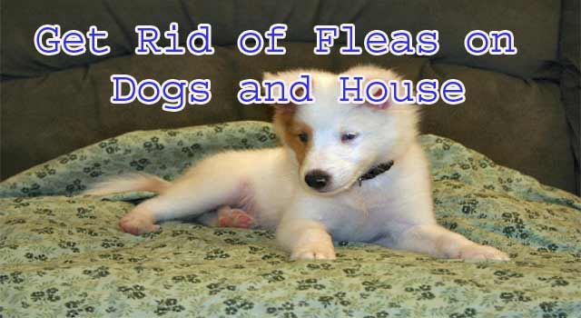 How to Get Rid of Fleas on Dogs and House