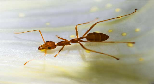 6 Ways to Get Rid of Red Ants