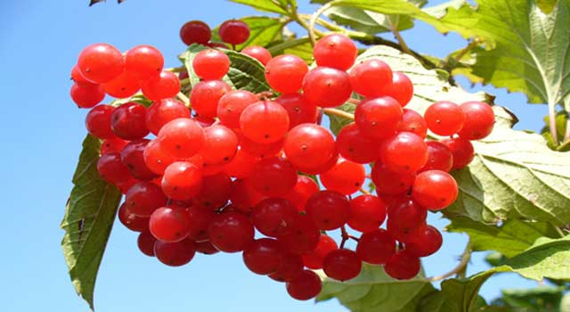 Health Benefits of Cranberry And Cranberry juice
