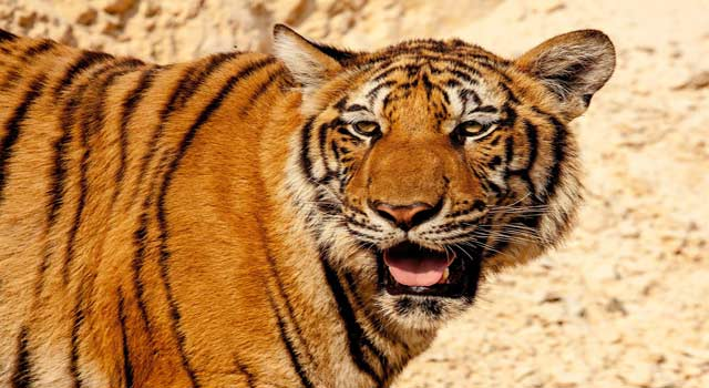 10 Interesting Facts about Tigers