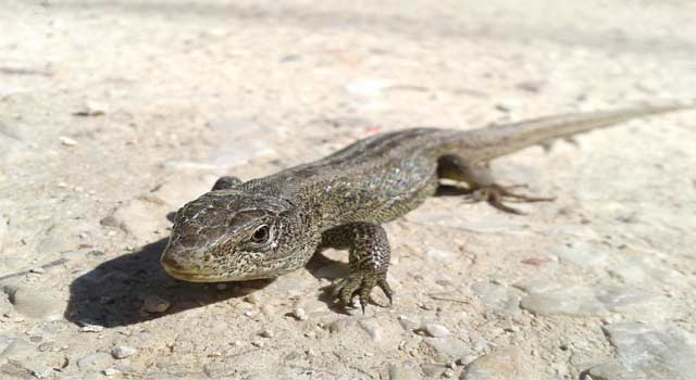 Get Rid of Lizards in the House and Garden