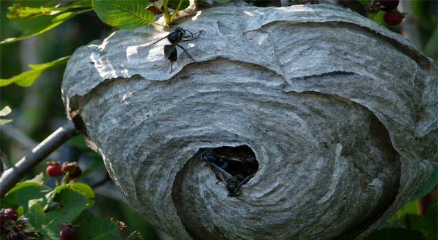 Get Rid of Wasps Nests