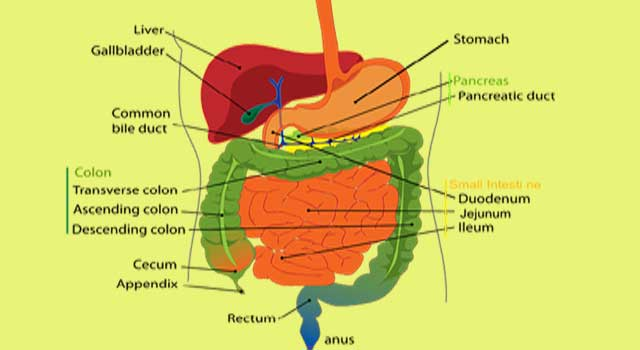 How to Improve your digestion system