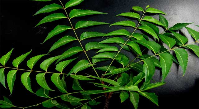 how to benefit of neem leaves