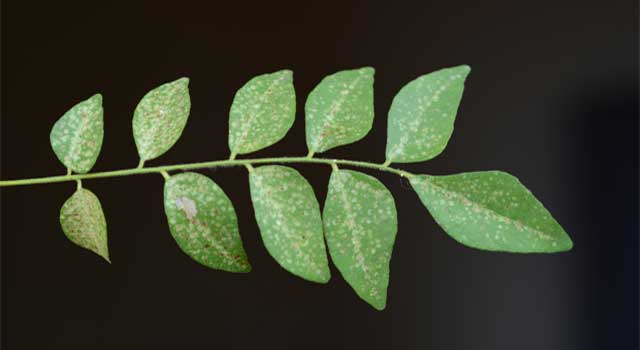 How Curry Leaves Improve Health