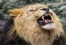 How do lions attack and kill thier prey