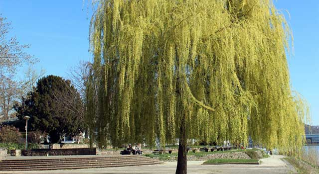 How to Get Rid Of Weeping Willow Borers