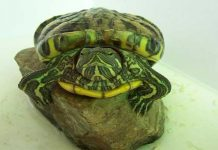 Interesting Facts about Green Sea Turtles