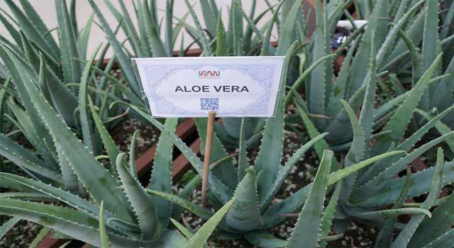 How to Use Aloe Vera Gel on Face